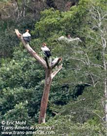 King Vulture, birds of Belize