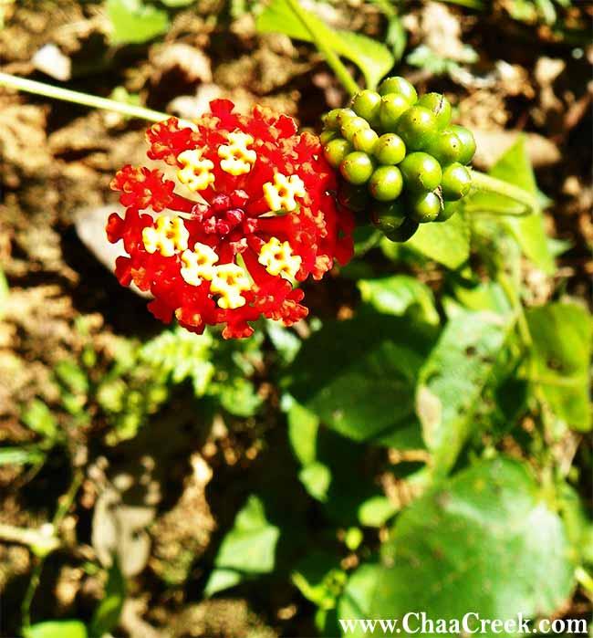 latana's flowers and berries