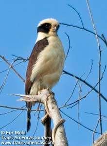 Laughing Falcon, birds of Belize