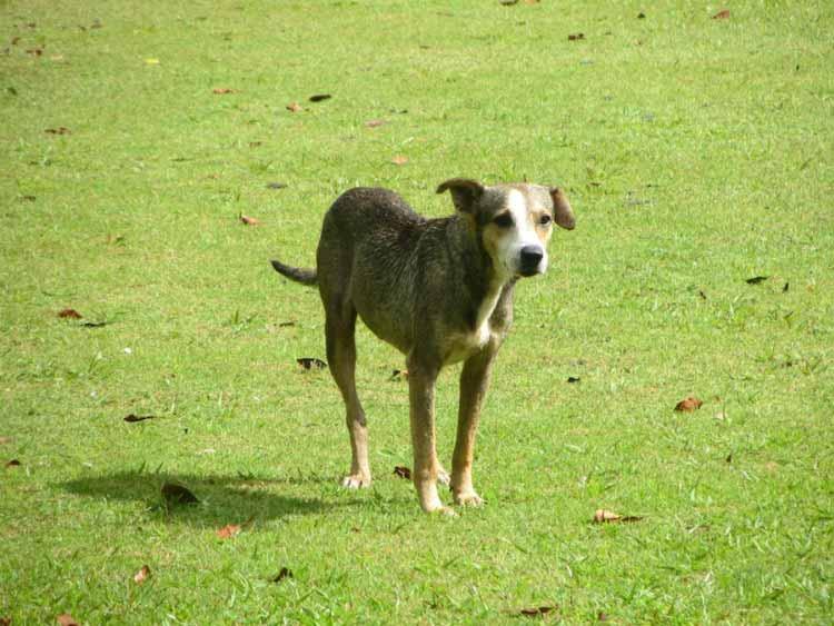 Lost Mayan dog at Xunantunich