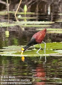 Northern Jacana, birds of Belize
