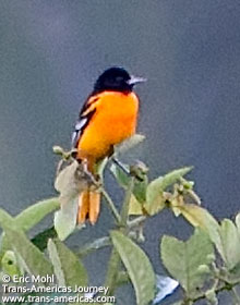 An orange oriole, birds of Belize