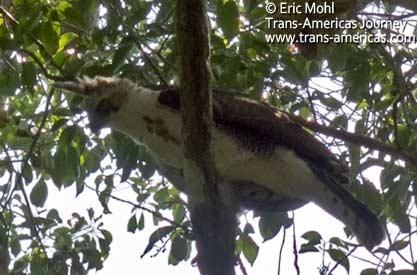 Ornate Hawk-Eagle, birds of Belize