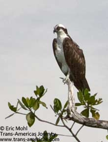 Osprey Eagle, birds of Belize