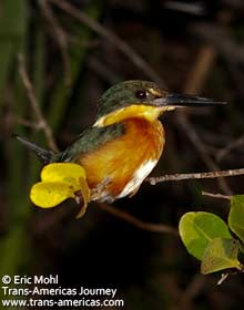 Pygmy Kingfisher, birds of Belize