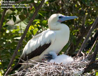 Red-footed Booby, birds of Belize