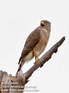 Roadside Hawk, birds of Belize