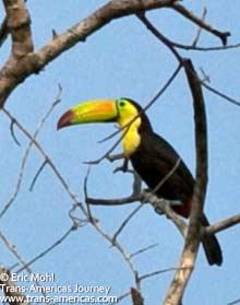 Toucan, birds of Belize
