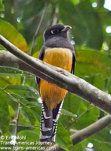 Violaceous Trogan, birds of Belize