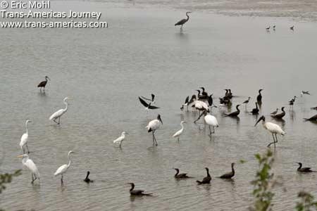 Wood Stork - Birds at Crooked Tree wildlife sanctuary, Belize