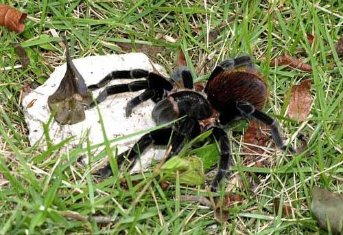 Tarantulas in Belize