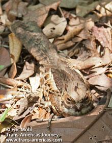 Yucatan Nightjar, birds of Belize