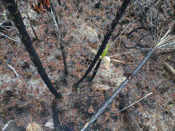 Bog vegetation after the oil fire in Sarstoon Temash National Park. Photo by: Robin Oisín Llewellyn.