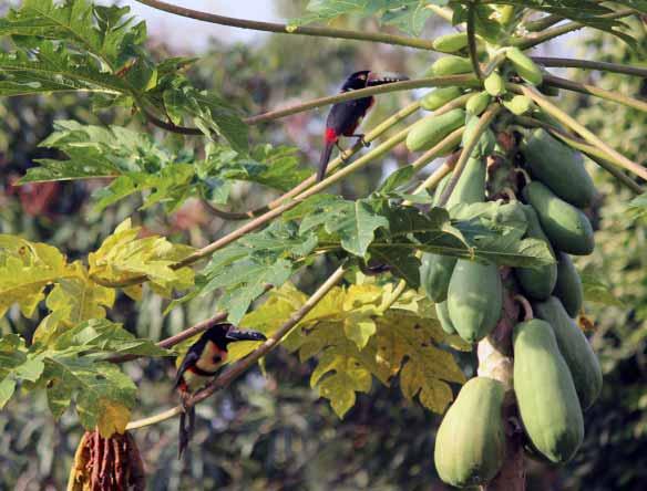 Male and Female Collared Aracari