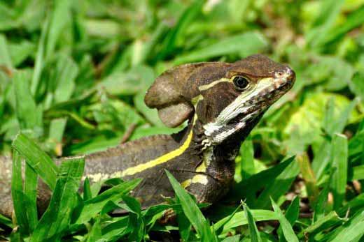 Basilisk Lizard (male)