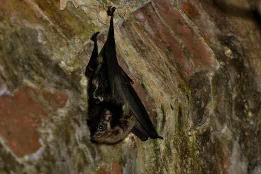 Greater White-lined Bat