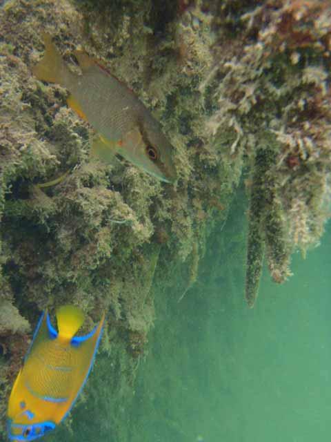 belize-queen-angelfish-webb