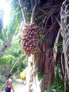 tree in Belize