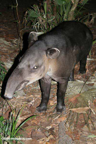 Baird's Tapir (Tapirus bairdii) in Belize. Photo by: Rhett Butler.
