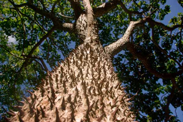 The unmistakable thick conical thorns on the trunk of the ceiba tree. Photo courtesy of Gionni Scaduto.