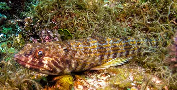 Blue Striped Lizardfish