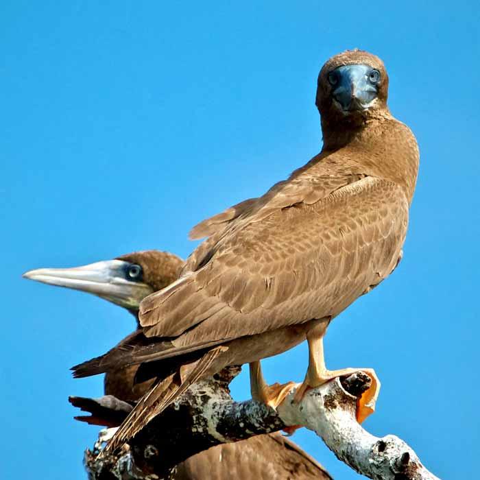 Birds Of Ambergris Caye Belize Birding