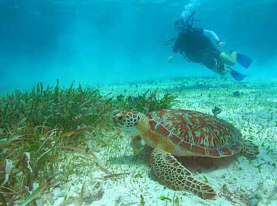 Belize Diver and Turtle photo courtesy of White Sands Dive Shop