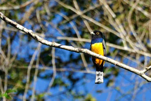 Gartered (Violaceous) Trogon