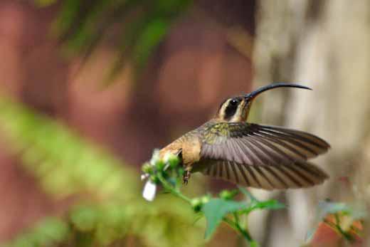 Stripe-throated (Little) Hermit