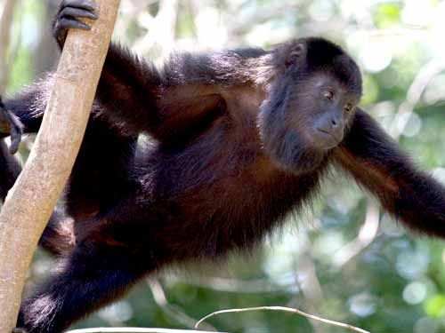 Howler monkey. Credit: Erik Hammar
