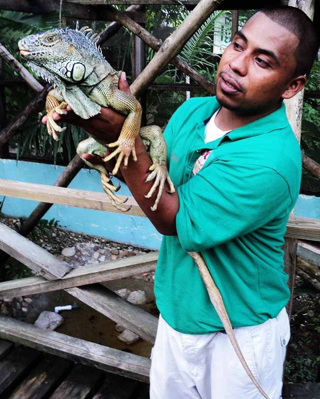 green iguana hatchery in San Ignacio Cayo Belize