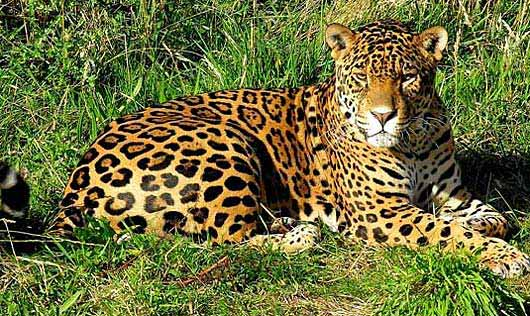 an analysis of the form of cat jaguar There are 38 species of cats in this family species in this family are found in all areas of the world, except for australia and antarctica they vary in size from the domestic cat to the lion the members of this family are built for hunting they stalk, chase, and pounce on their prey unlike.