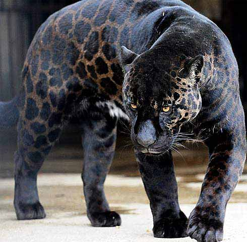 jaguar largest of the big cats in the americas ambergris caye belize message board. Black Bedroom Furniture Sets. Home Design Ideas