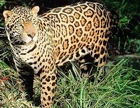 jaguar largest of the big cats in the americas ambergris caye