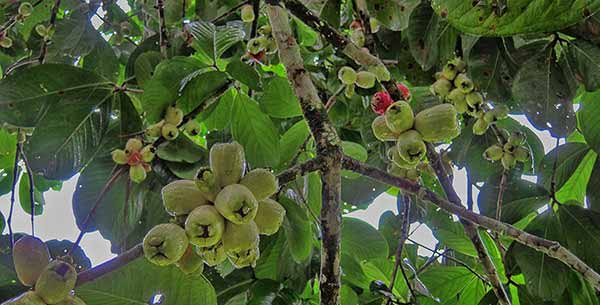 Malay Apples
