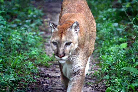 Caribbean Animals: The Big Cats Of Belize, Belize Animals, Caribbean Critters
