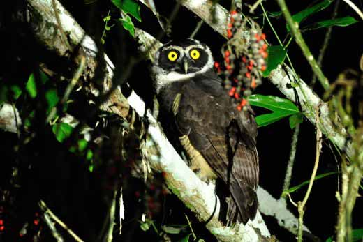 Spectacled Owl (immature)