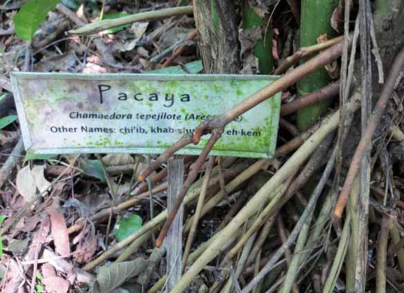 PacayaPalm (1024x743)