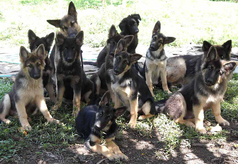 German Shepherd Puppies For Sale Ambergris Caye Belize Message Board