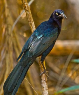 "Ellen Called This Common Bird, a Great-Tailed Grackle, ""Mr. Personality"""