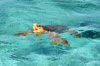 turtle belize