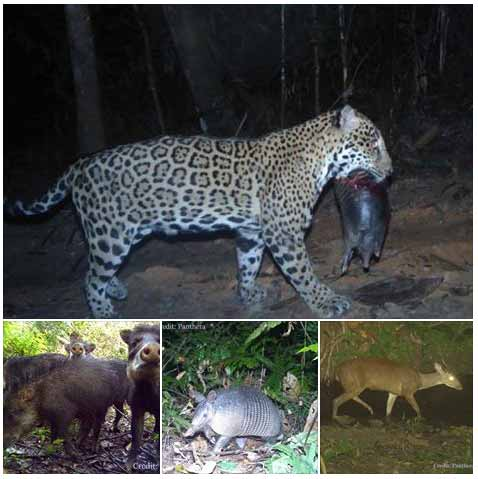 What Do Jaguars Eat >> Jaguar Largest Of The Big Cats In The Americas Ambergris Caye