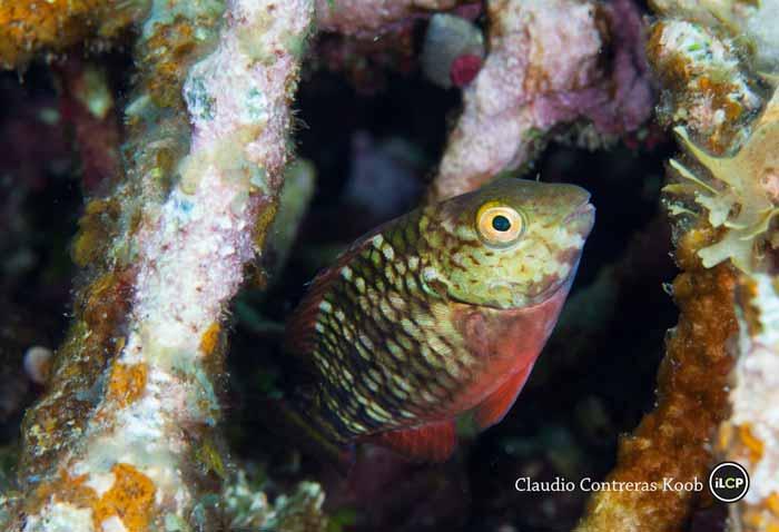 Stoplight Parrotfish (Sparisoma viride) hiding amongst Staghorn Coral (Acropora cervicornis) colonies, IUCN redlist Critically Endangered, Cordelia Banks, Roatan Island, Bay Islands, Honduras.