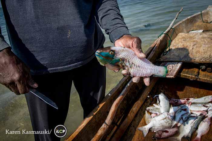 An illegally caught parrotfish, Roatan, Honduras.