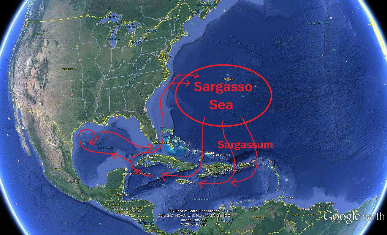 Sargasso Sea On World Map.The Journey Of The Sargassum Ambergris Caye Belize Message Board