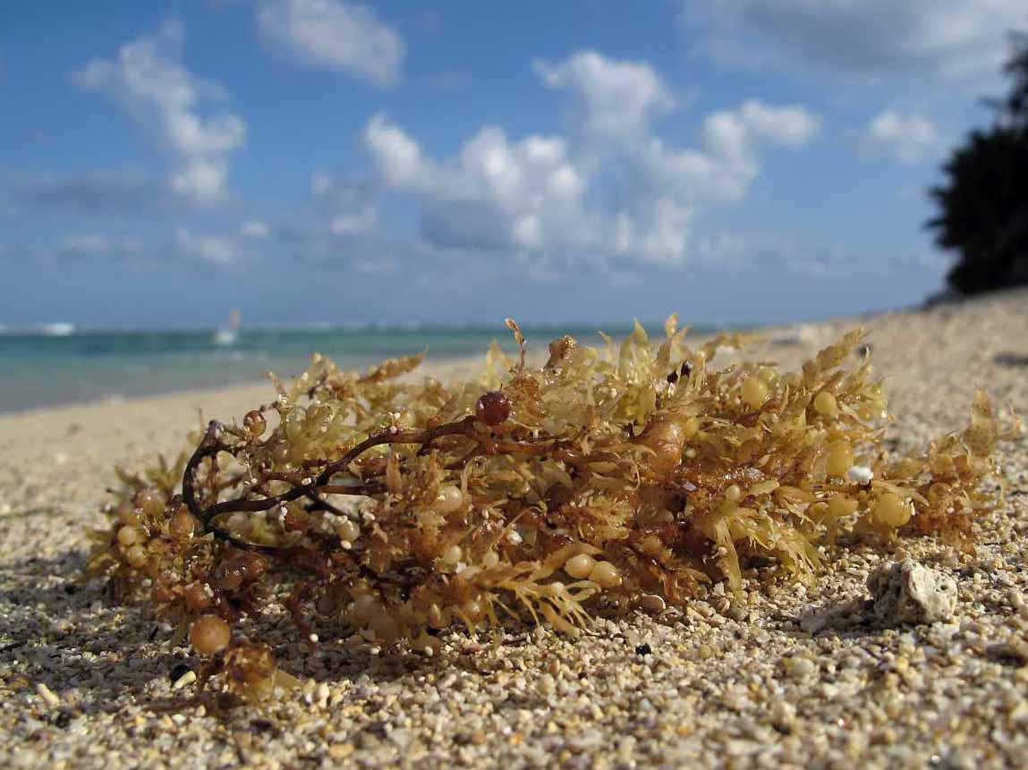 The Journey of the Sargassum - Ambergris Caye Belize Message