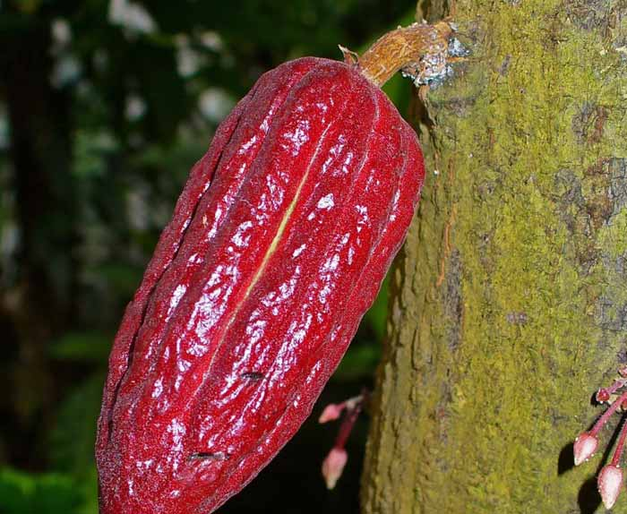 Cocoa Tree : Wiki Commons