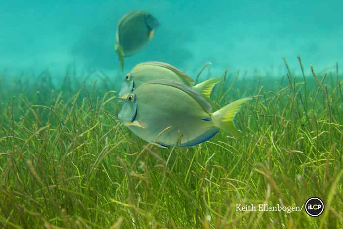 Surgeonfish swimming over seagrass, Puerto Morelos National Marine Park, Mexico.