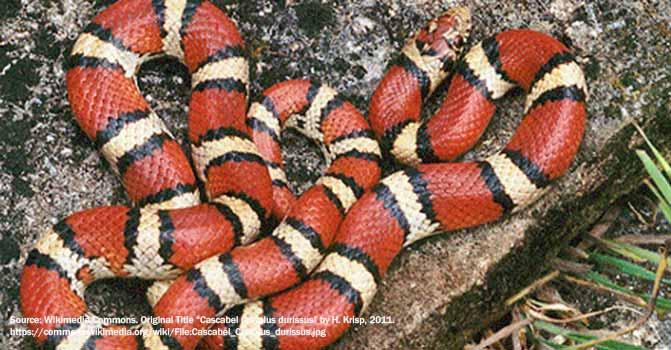 snake Coralillo.JPG