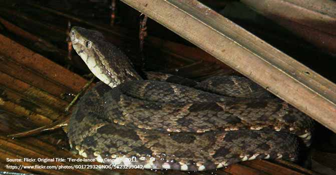 snake Nauyaca Real